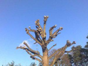 Обрезка деревьев в Иваново